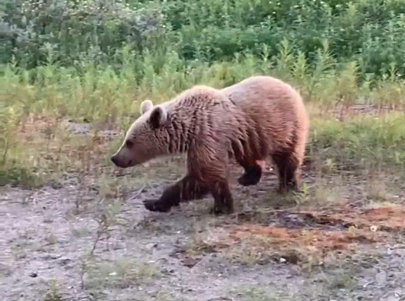 Медведь снова пугает жильцов дома в Териберке