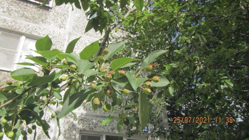 Яблони дали плоды в Мурманской области