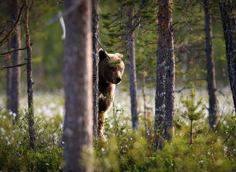 О медведе в районе городского кладбища сообщают в Мурманске