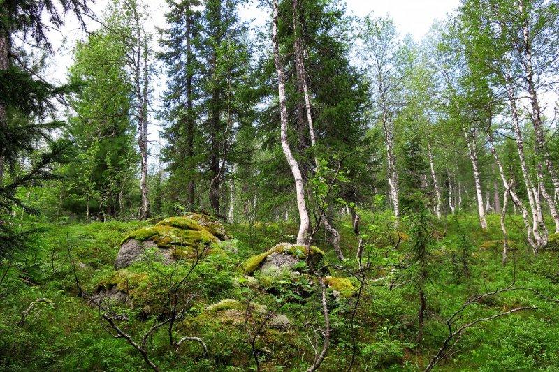 Обугленный труп  женщины нашли в лесу в Мурманской области