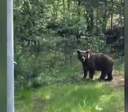 Медведь с бродячими собаками ищет еду возле Раякоски
