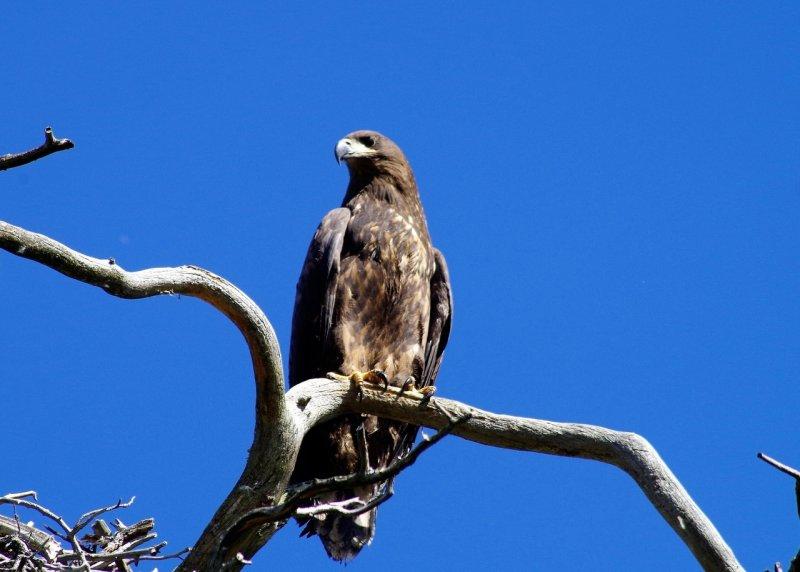 Птенцы орлана-белохвоста отправляются в первые полеты в Кандалакшском районе