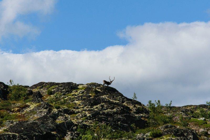 Северный олень восхитил туристов в Лапландском заповеднике