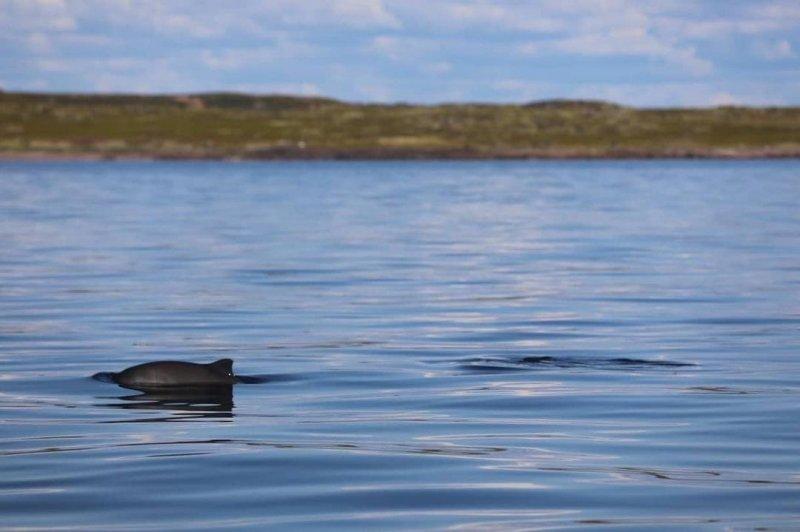 Серых дельфинов заметили в Белом море в Чаваньге