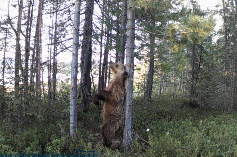 Ламбаду танцевал медведь в лесу Кандалакши (видео)