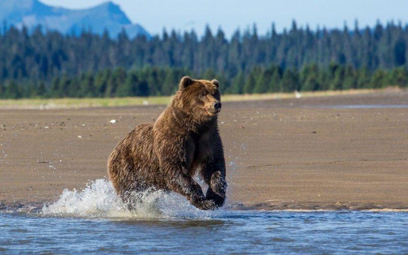 Медведь бродит возле Заполярного