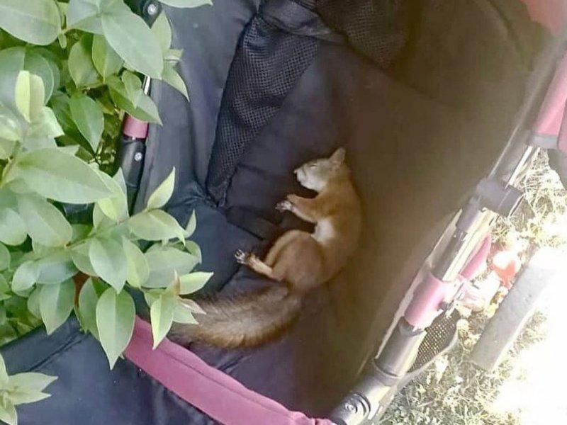 Белка уснула в детской коляске в Никеле