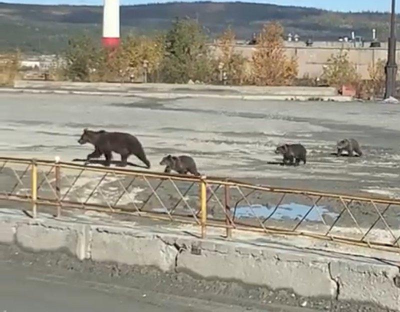 Медвежья семья бродила по промплощадке в Ковдоре