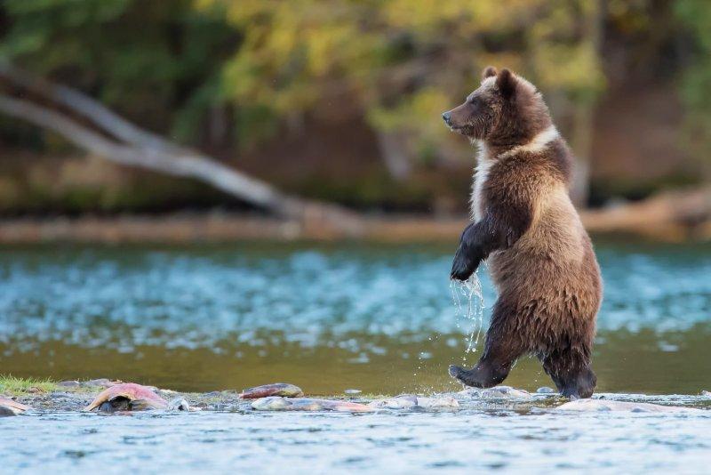 Медведь гуляет у знаменитого водопада в Никеле