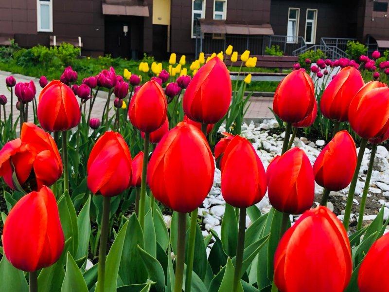16 тысяч тюльпанов посадят в Кировске