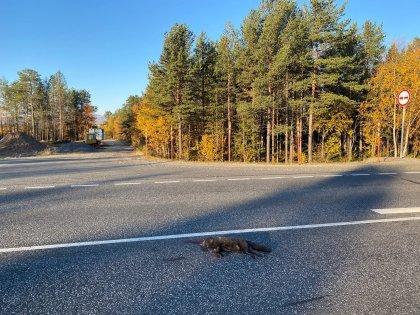 Сбитых песцов заметили на трассе возле Пушного