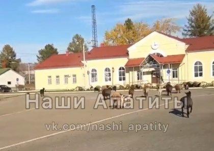 Стадо козлов атаковало вокзал Апатитов
