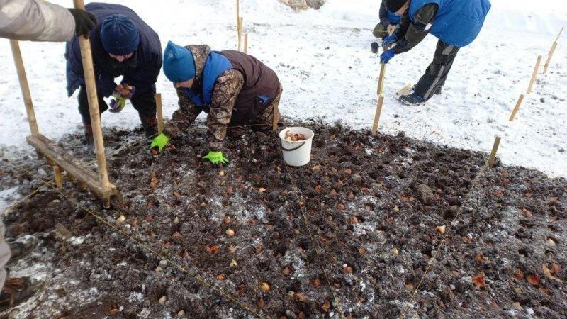 Тюльпаны высадили в Кировске